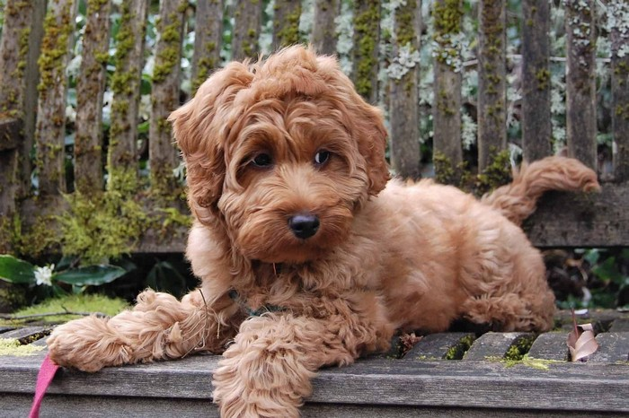 youll definitely adopt a mini labradoodle after knowing these 1
