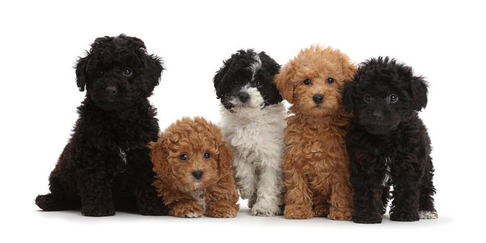 youll definitely adopt a mini labradoodle after knowing these 5