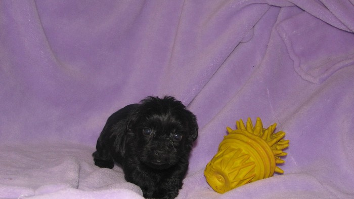 youll definitely adopt a mini labradoodle after knowing these 6