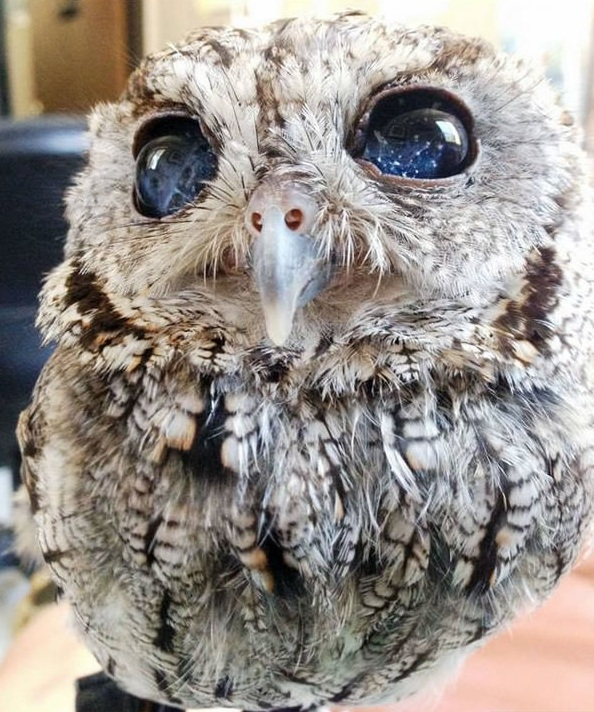 zeus is an owl with the universe in its eyes 7 pictures 1