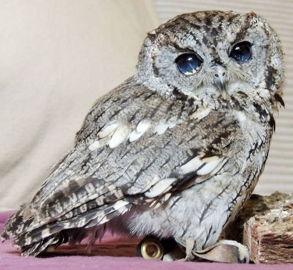 zeus is an owl with the universe in its eyes 7 pictures 4