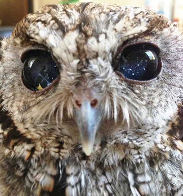 zeus is an owl with the universe in its eyes 7 pictures 5
