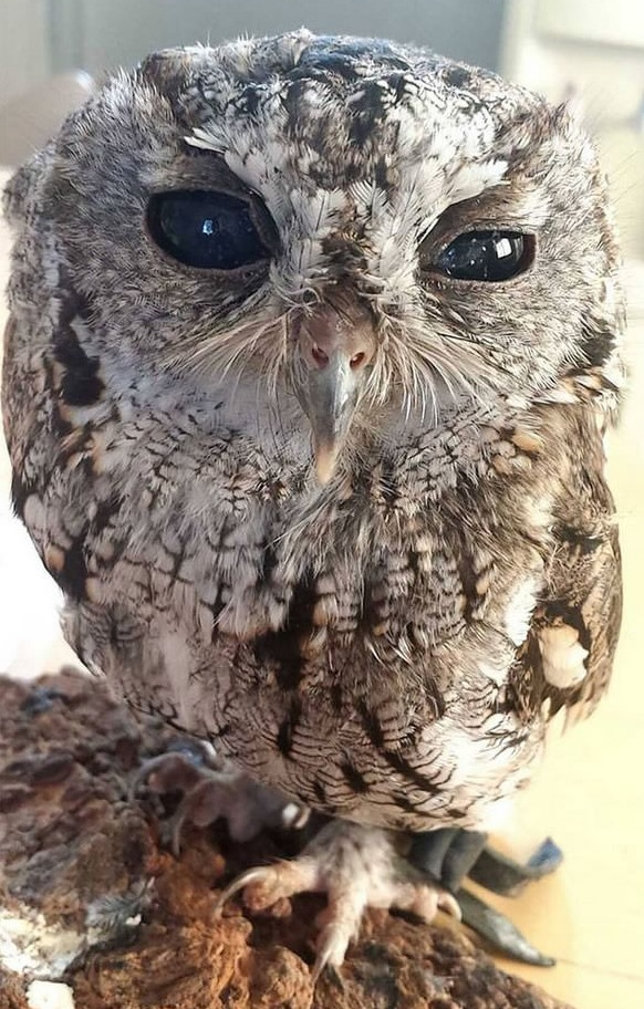 zeus is an owl with the universe in its eyes 7 pictures 6