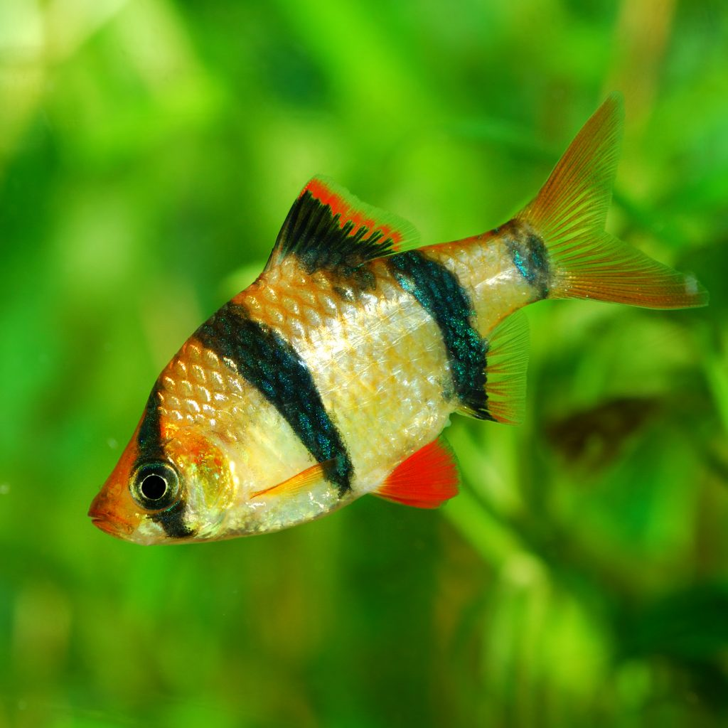 Tiger Barb - Freshwater Fish for Beginners
