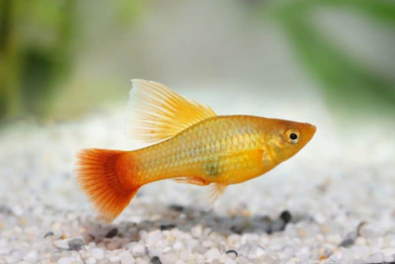Platies - Freshwater Fish for Beginners
