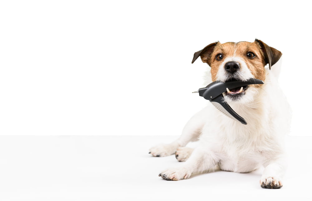 Ready for trimming. Dog holding nail clipper in mouth.